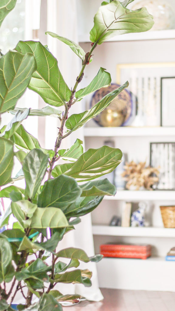 how to care for a fiddle leaf fig - black thumb's guide